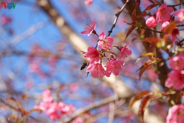 Hoa đào bừng sáng trời đông Mù Cang Chải - 4
