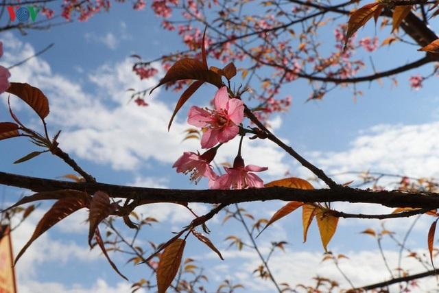 Hoa đào bừng sáng trời đông Mù Cang Chải - 5