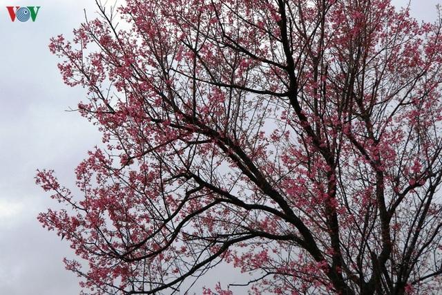 Hoa đào bừng sáng trời đông Mù Cang Chải - 6