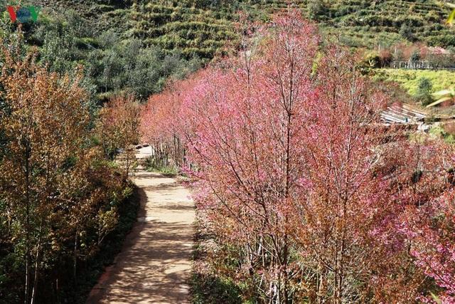 Hoa đào bừng sáng trời đông Mù Cang Chải - 7