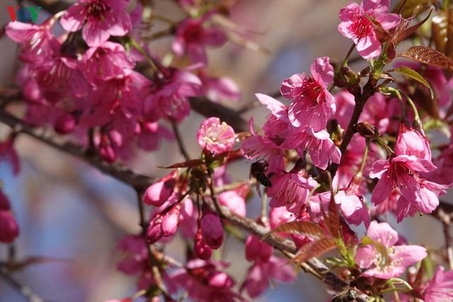 Hoa đào bừng sáng trời đông Mù Cang Chải - 8