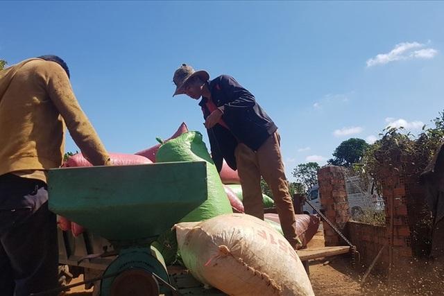 """Nguy cơ """"cây tỉ đô"""" giá trị 6 tỉ USD bị nông dân chặt bỏ - 1"""