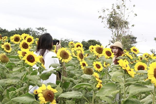 Giới trẻ phố núi nô nức check-in tại vườn hoa hướng dương ngoại ô - 5