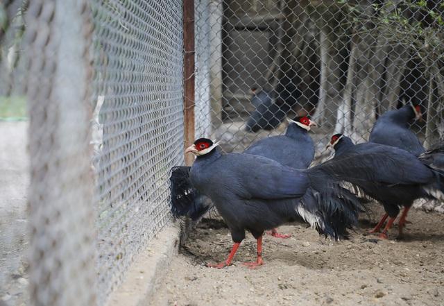 Độc lạ gà lôi tai xanh giá 15 triệu/cặp hút khách dịp tết - 10