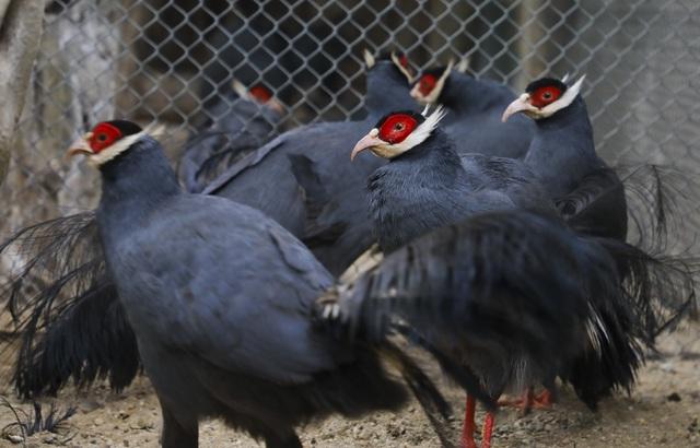 Độc lạ gà lôi tai xanh giá 15 triệu/cặp hút khách dịp tết - 3