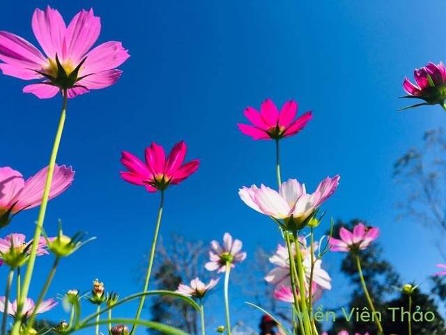 """Du khách mê mẩn vẻ đẹp vườn hoa tam giác mạch trên """"phố núi"""" - 8"""