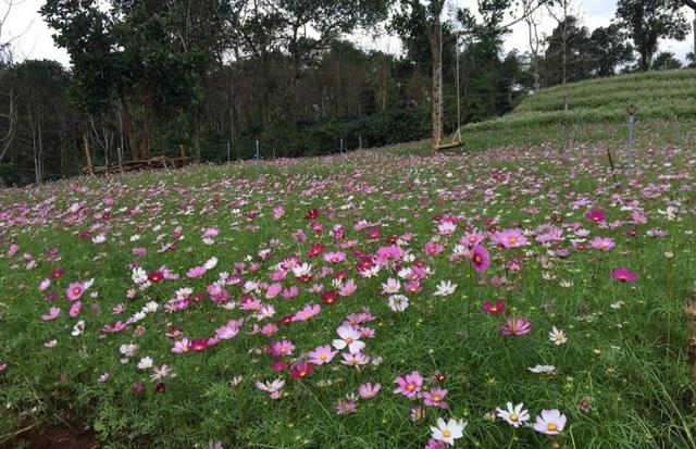 """Du khách mê mẩn vẻ đẹp vườn hoa tam giác mạch trên """"phố núi"""" - 10"""