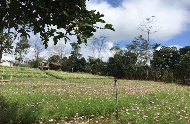 """Du khách mê mẩn vẻ đẹp vườn hoa tam giác mạch trên """"phố núi"""" - 11"""