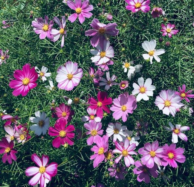 """Du khách mê mẩn vẻ đẹp vườn hoa tam giác mạch trên """"phố núi"""" - 4"""