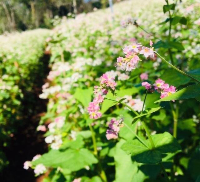 """Du khách mê mẩn vẻ đẹp vườn hoa tam giác mạch trên """"phố núi"""" - 5"""