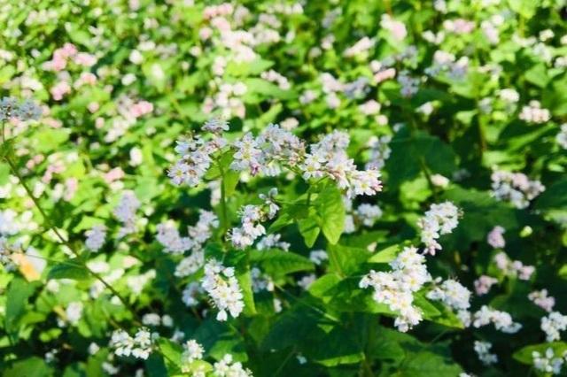 """Du khách mê mẩn vẻ đẹp vườn hoa tam giác mạch trên """"phố núi"""" - 6"""