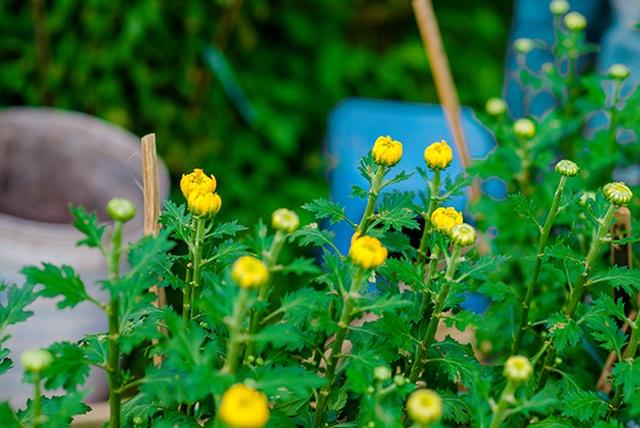 Ngắt nụ hoa cúc, sinh viên Đà Nẵng kiếm tiền triệu mùa Tết - 1