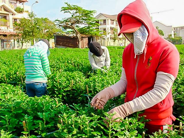 Ngắt nụ hoa cúc, sinh viên Đà Nẵng kiếm tiền triệu mùa Tết - 2