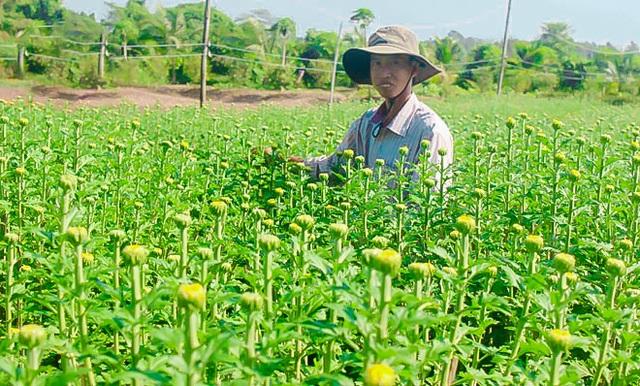 Ngắt nụ hoa cúc, sinh viên Đà Nẵng kiếm tiền triệu mùa Tết - 8