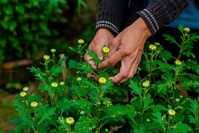 Ngắt nụ hoa cúc, sinh viên Đà Nẵng kiếm tiền triệu mùa Tết - 3