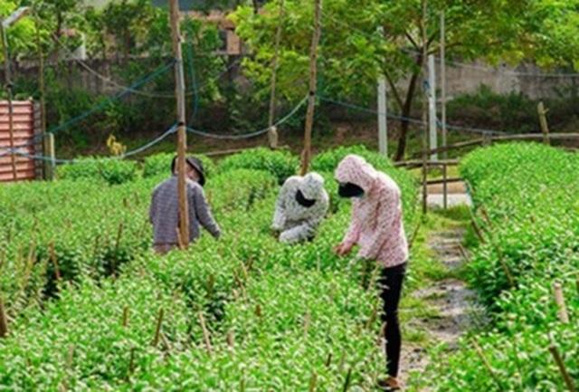Ngắt nụ hoa cúc, sinh viên Đà Nẵng kiếm tiền triệu mùa Tết - 5