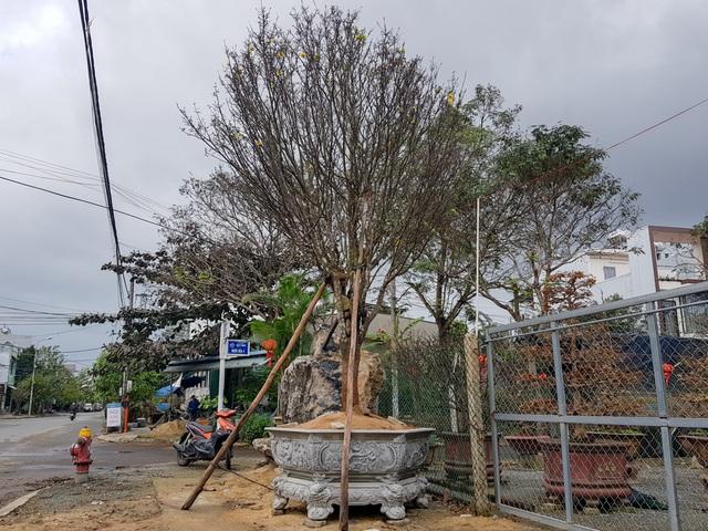 Đà Nẵng: Làng cho thuê mai tất bật vào vụ Tết - 5