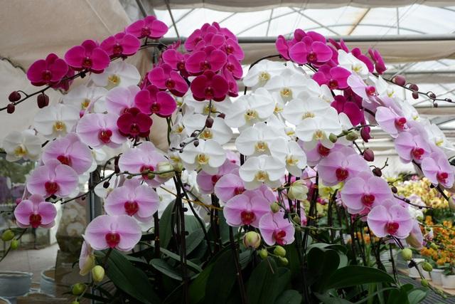 Hành trình hơn một thập kỷ với khát vọng đưa hoa Việt Nam vươn tầm thế giới của các nhà khoa học - 10
