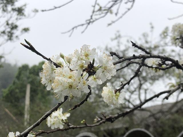 Ngắm thiên đường hoa mận nở nơi Mường Lống những ngày cuối năm - 19