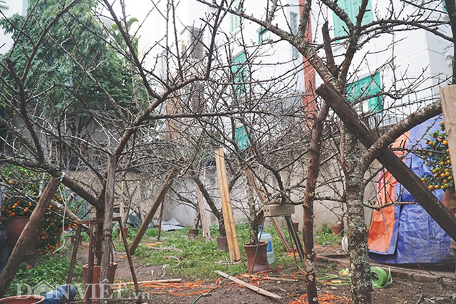 Cành đào rừng 10 năm tuổi được rao bán 200 triệu đồng ở Hà Nội - 1