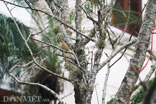 Cành đào rừng 10 năm tuổi được rao bán 200 triệu đồng ở Hà Nội - 10
