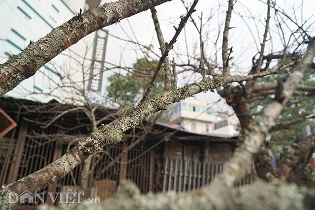 Cành đào rừng 10 năm tuổi được rao bán 200 triệu đồng ở Hà Nội - 12