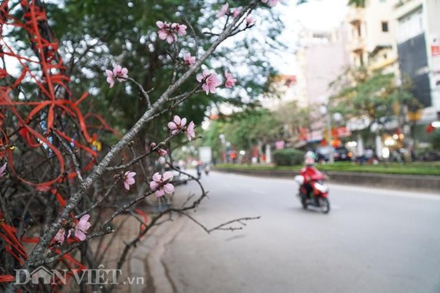 Cành đào rừng 10 năm tuổi được rao bán 200 triệu đồng ở Hà Nội - 2