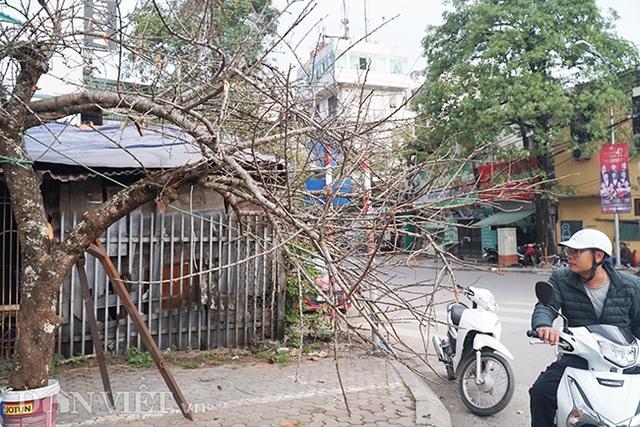 Cành đào rừng 10 năm tuổi được rao bán 200 triệu đồng ở Hà Nội - 4