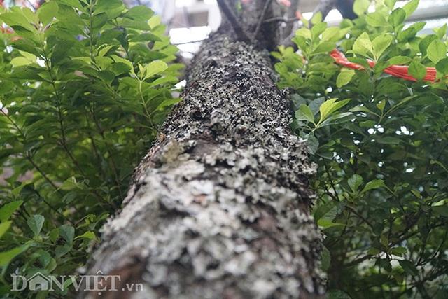 Cành đào rừng 10 năm tuổi được rao bán 200 triệu đồng ở Hà Nội - 7