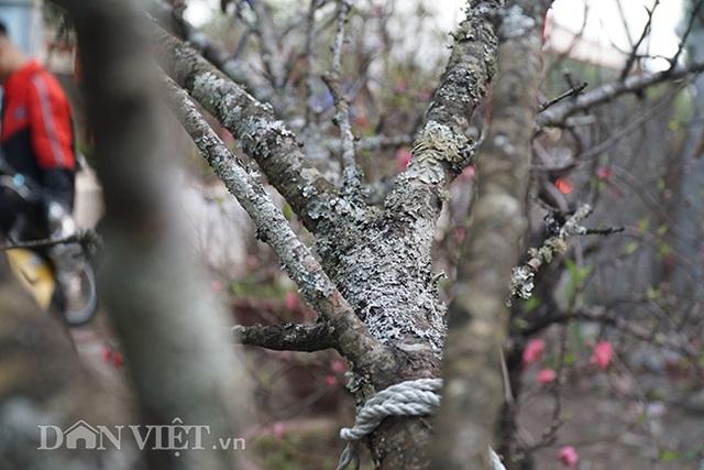 Cành đào rừng 10 năm tuổi được rao bán 200 triệu đồng ở Hà Nội - 8