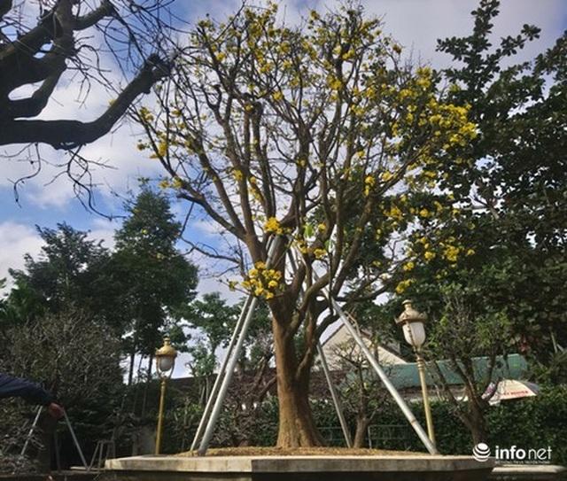 Cây hoàng mai trên 200 năm tuổi bung hoa vàng chóe, giá khoảng 5 tỷ đồng - 1