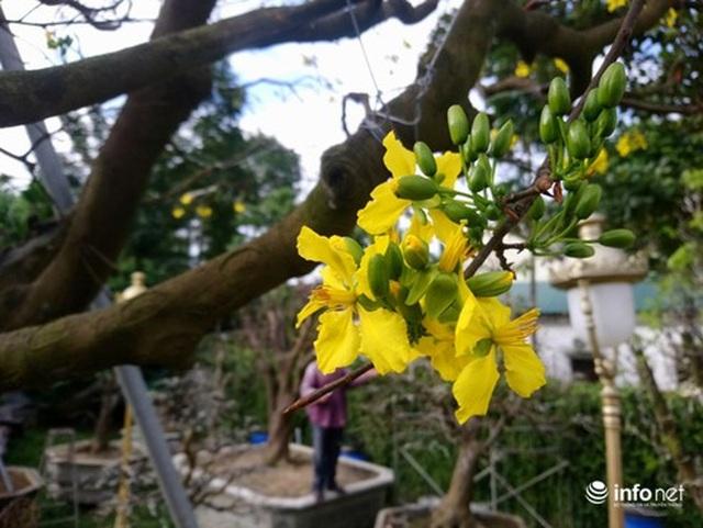 Cây hoàng mai trên 200 năm tuổi bung hoa vàng chóe, giá khoảng 5 tỷ đồng - 6