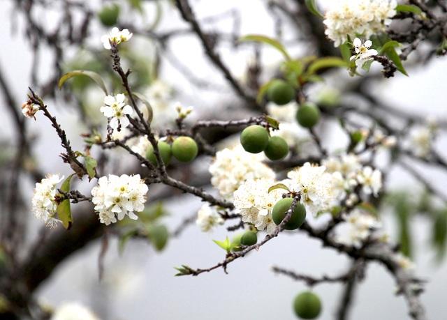 Ngắm thiên đường hoa mận nở nơi Mường Lống những ngày cuối năm - 4