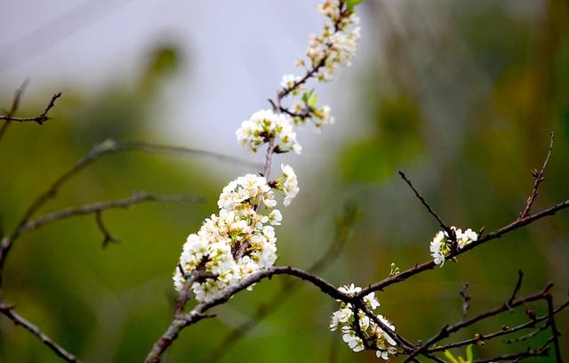 Ngắm thiên đường hoa mận nở nơi Mường Lống những ngày cuối năm - 3