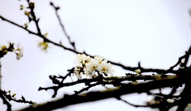 Ngắm thiên đường hoa mận nở nơi Mường Lống những ngày cuối năm - 13