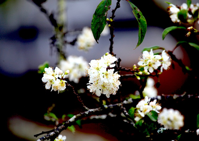 Ngắm thiên đường hoa mận nở nơi Mường Lống những ngày cuối năm - 15