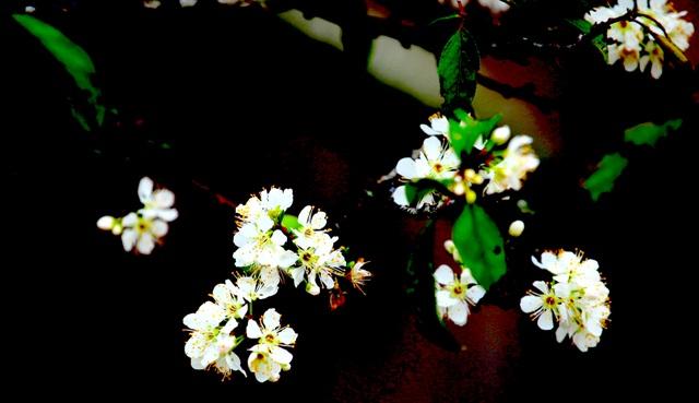 Ngắm thiên đường hoa mận nở nơi Mường Lống những ngày cuối năm - 16