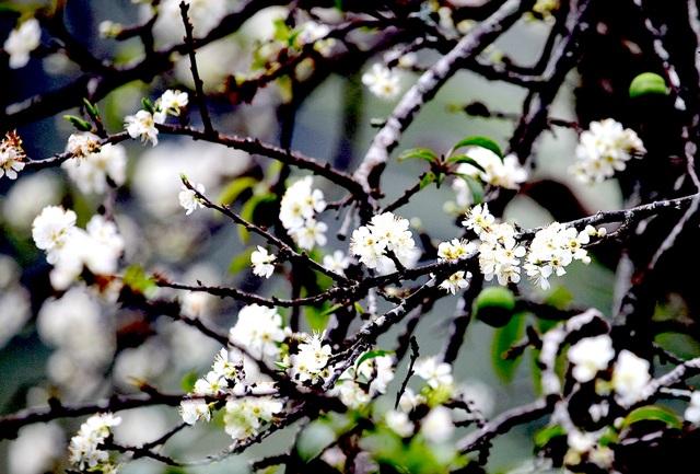 Ngắm thiên đường hoa mận nở nơi Mường Lống những ngày cuối năm - 9