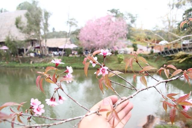 """Mùa hoa mai anh đào nhuộm hồng Đà Lạt thứ 2"""" - 3"""