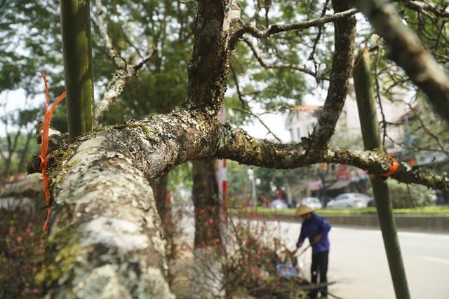 Mận rừng trắng tinh khôi xuống Thủ đô đón Tết - 8