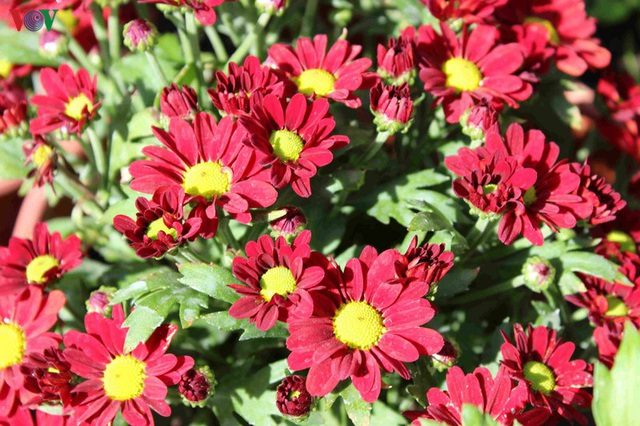 Làng hoa Phó Thọ - Bà Bộ (Cần Thơ) tất bật làm hoa Tết - 10