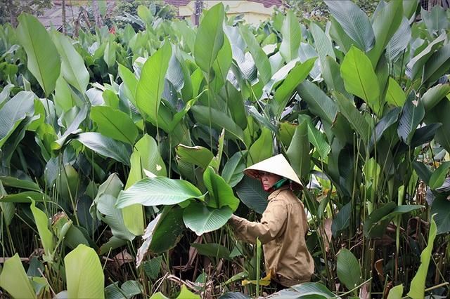 Hà Tĩnh: Thủ phủ lá dong Đức Thọ hối hả vào vụ Tết - 2