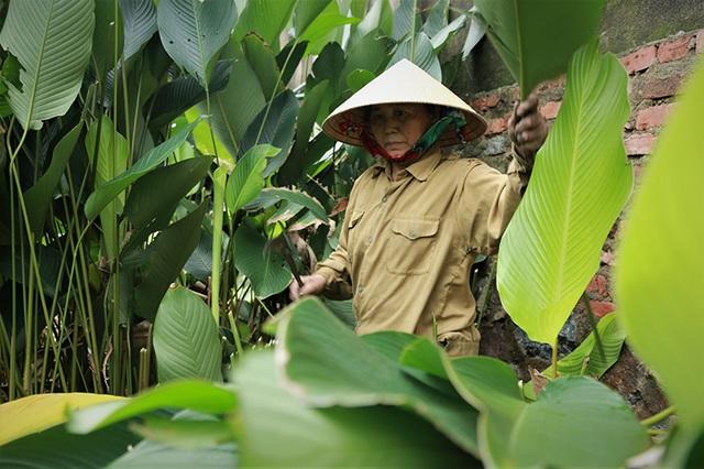 Hà Tĩnh: Thủ phủ lá dong Đức Thọ hối hả vào vụ Tết - 3