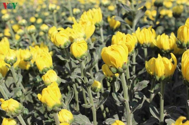 Làng hoa Phó Thọ - Bà Bộ (Cần Thơ) tất bật làm hoa Tết - 8