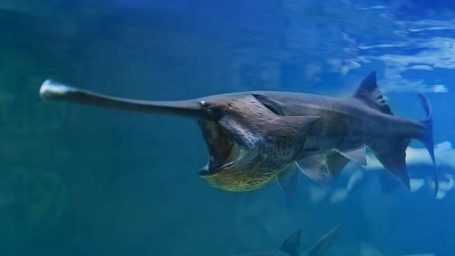 Cá mái chèo cổ đại của Trung Quốc đã tuyệt chủng - 1