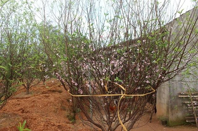 Hà Tĩnh: Đào Tết bung nở rực rỡ, người trồng lo sốt vó - 1