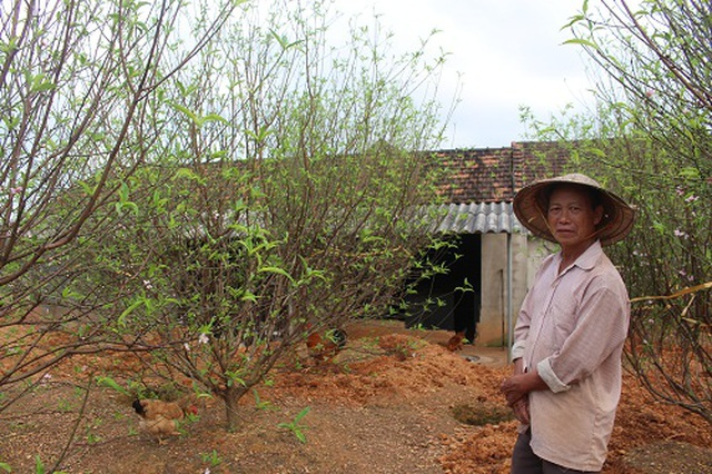Hà Tĩnh: Đào Tết bung nở rực rỡ, người trồng lo sốt vó - 2