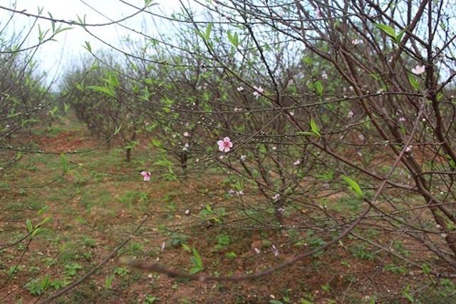 Hà Tĩnh: Đào Tết bung nở rực rỡ, người trồng lo sốt vó - 3