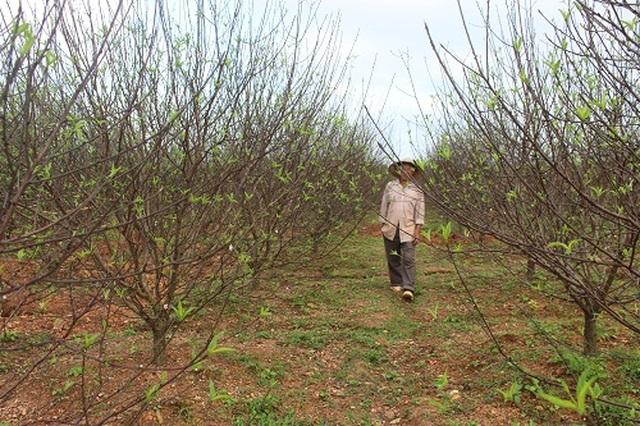 Hà Tĩnh: Đào Tết bung nở rực rỡ, người trồng lo sốt vó - 4