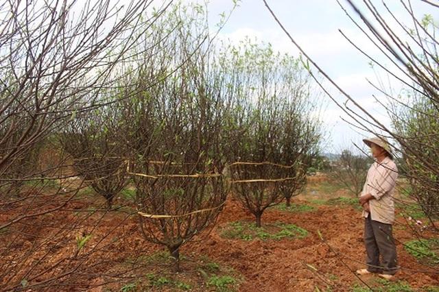 Hà Tĩnh: Đào Tết bung nở rực rỡ, người trồng lo sốt vó - 5